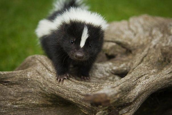 cute baby animals - skunk