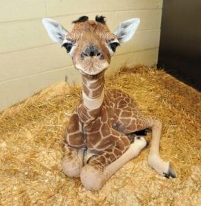 cute baby animals - giraffe