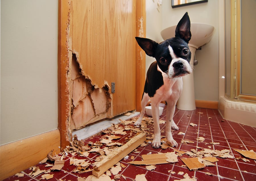 If your dog chews something he shouldn't, don't chase him   heavy chewer dogs