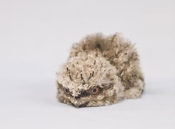 frogmouth chick