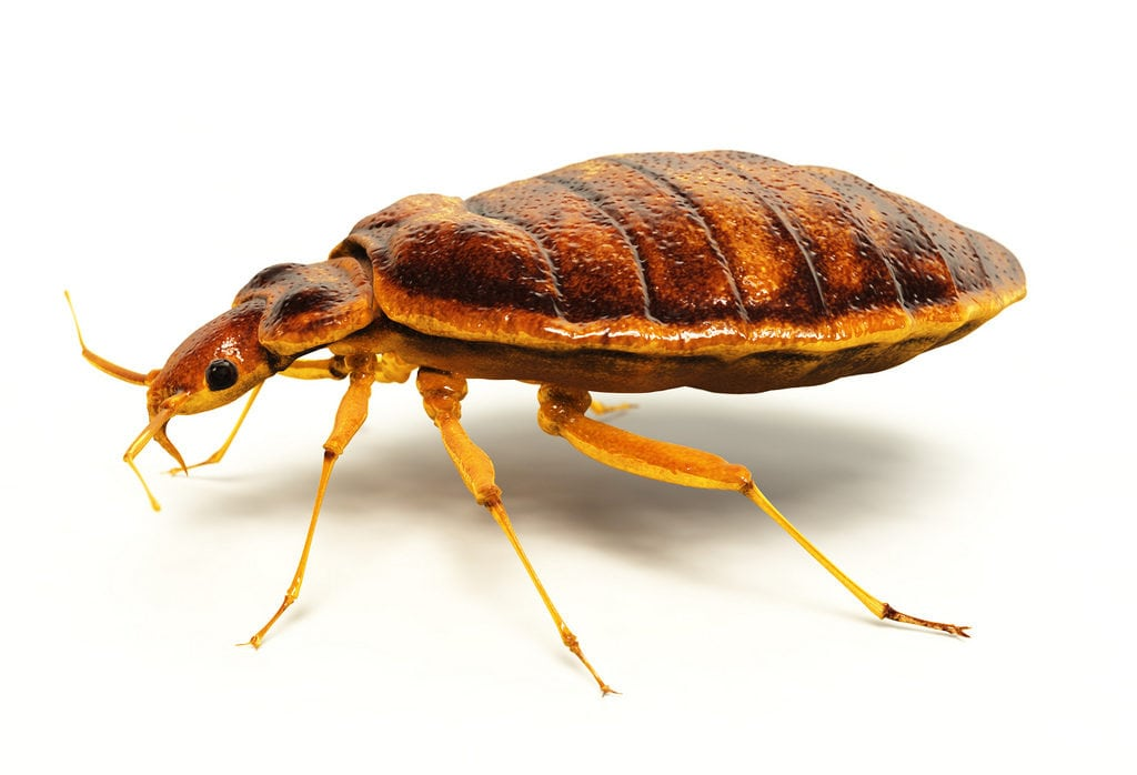 Bed Bugs Be Gone How To Get Rid Of Bed Bugs In A Mattress Top5