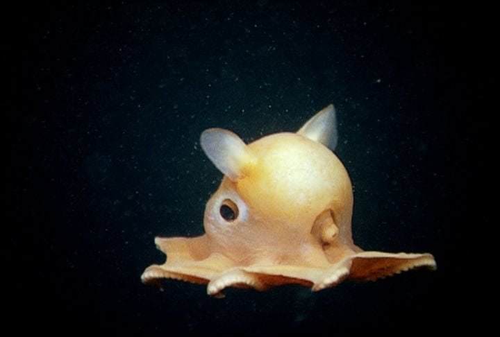 weirdest animals in the world Dumbo Octopus