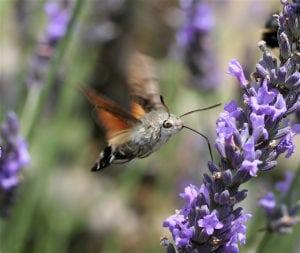 weirdest animals in the world Hummingbird hawk-moth