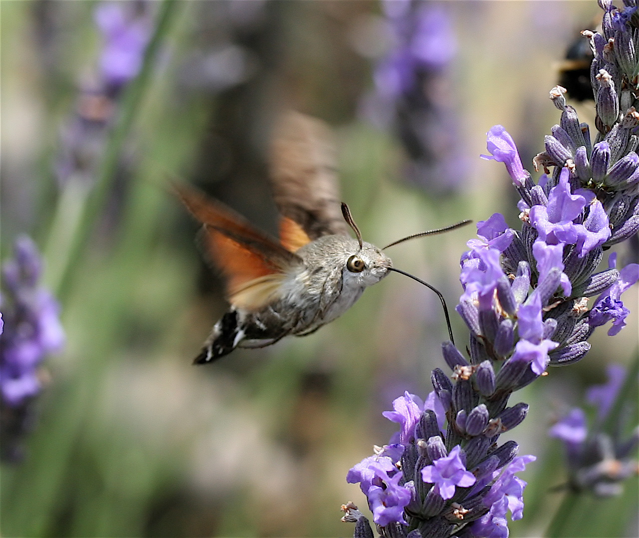 weirdest animals in the world Hummingbird hawk-moth
