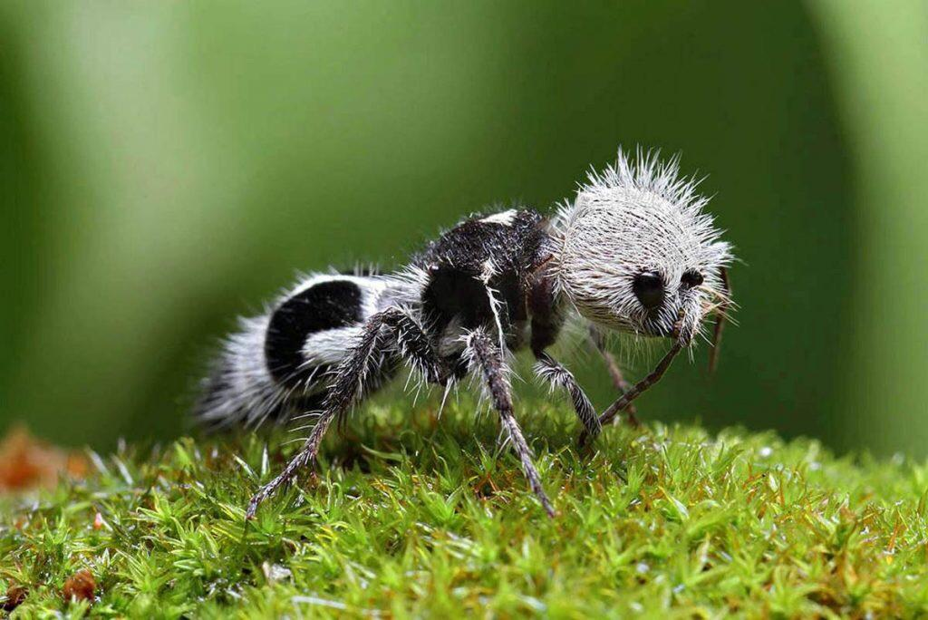 weirdest animals in the world The Panda Ant