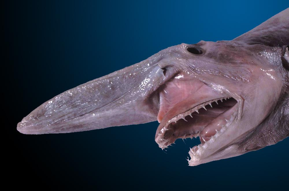 weirdest animals in the world Goblin Shark