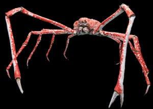 weirdest animals in the world Japanese Spider Crab
