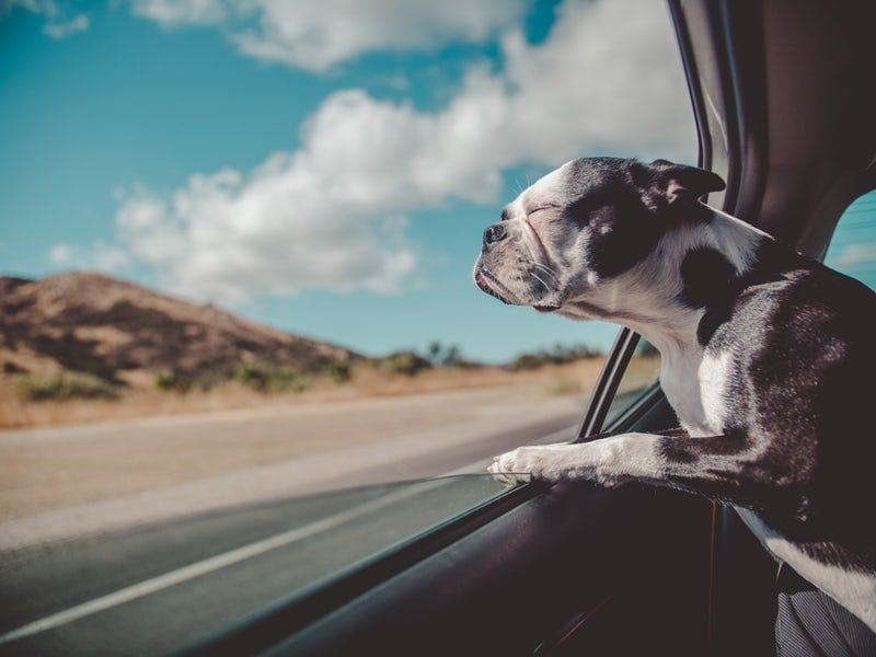French bulldog riding in car