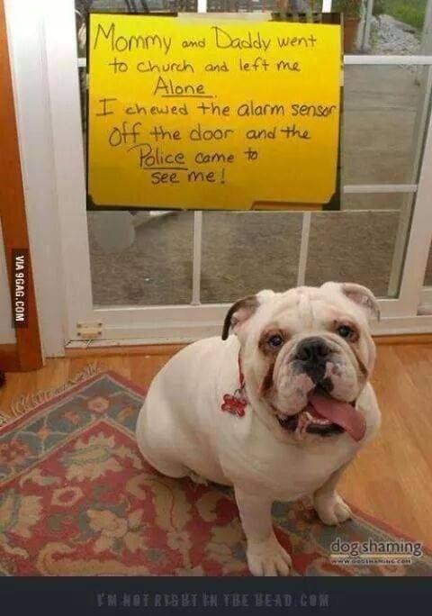 funny pug pictures chewed through alarm sensor