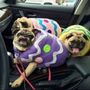 funny pug pictures egg