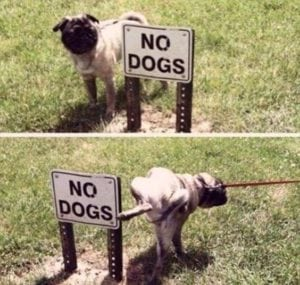 funny pug pictures no dog