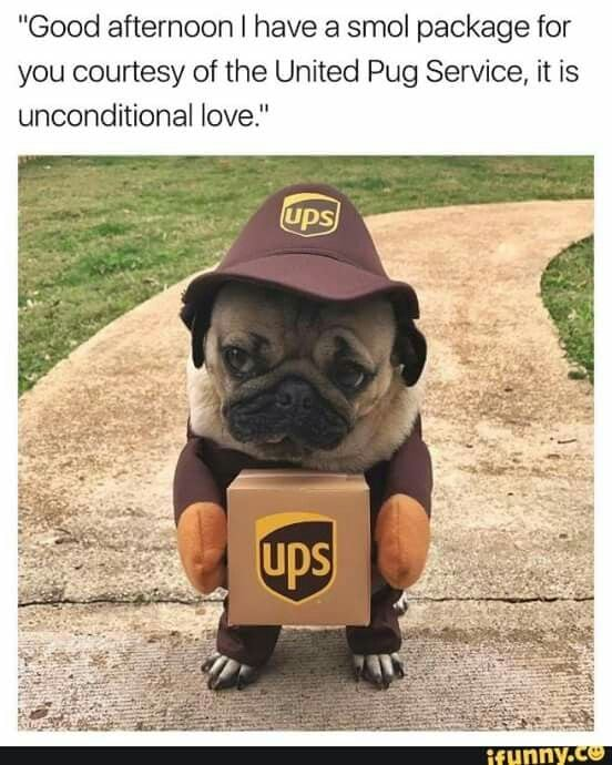 funny pug pictures | UPS pug