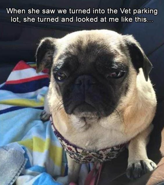 funny pug pictures vet