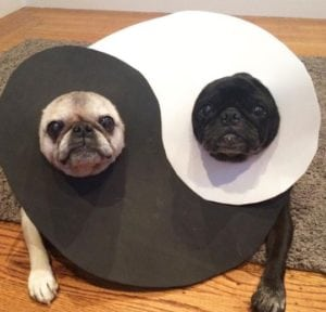 funny pug pictures yin yang