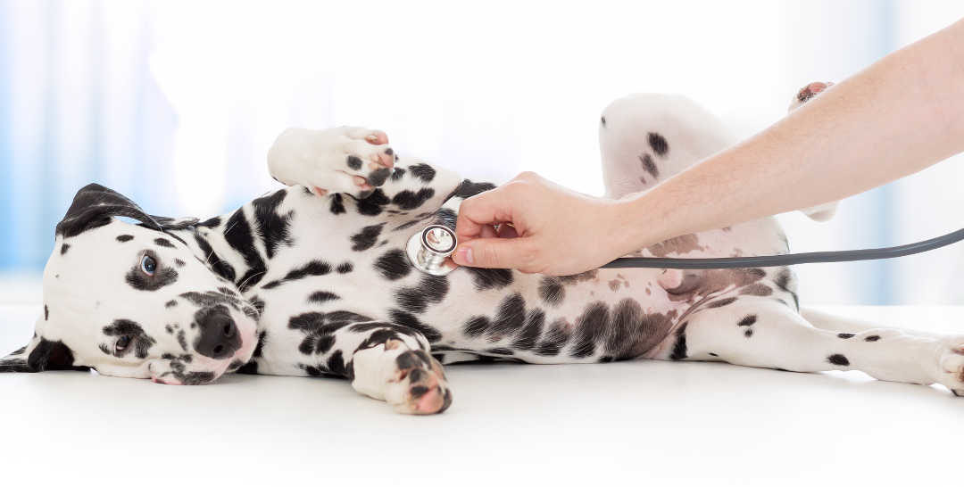 dalmation with stethoscope