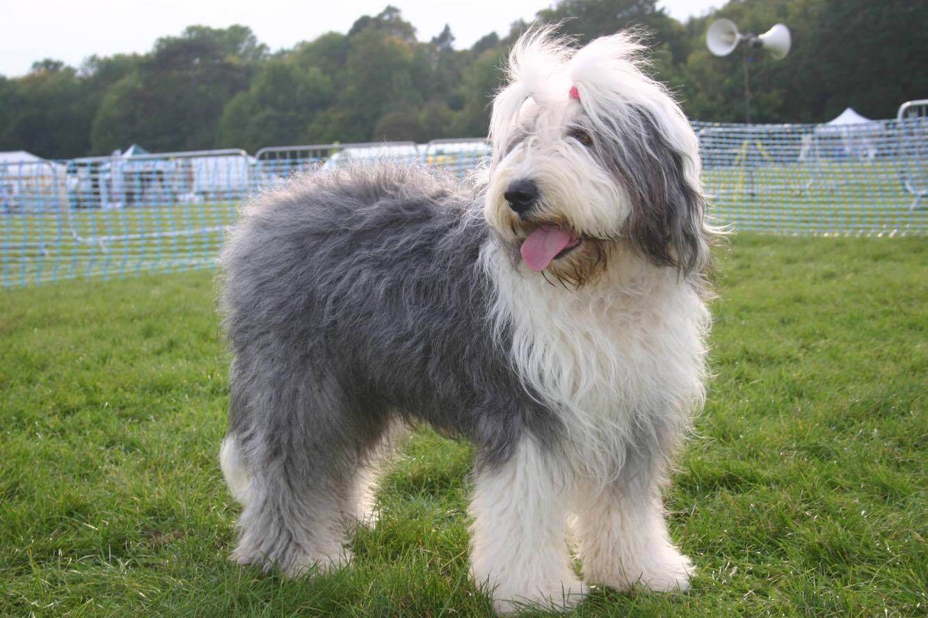 most expensive dog Old English Sheepdog