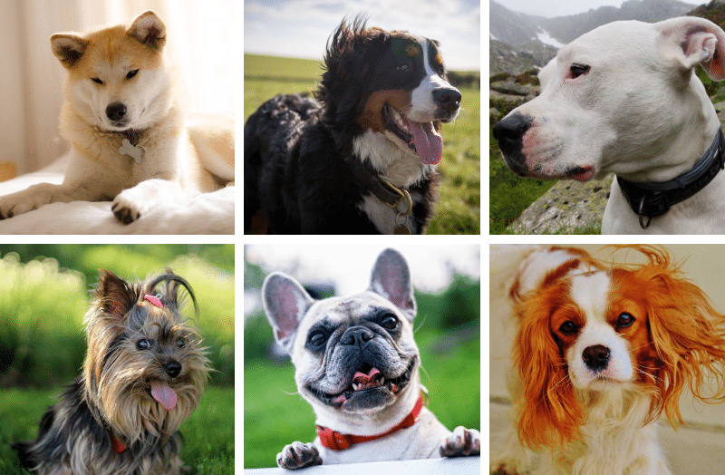 Most Expensive Dog Breeds: Here Are the Pups with the Highest Price Tag