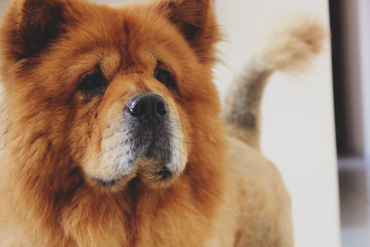 most expensive dog chow chow