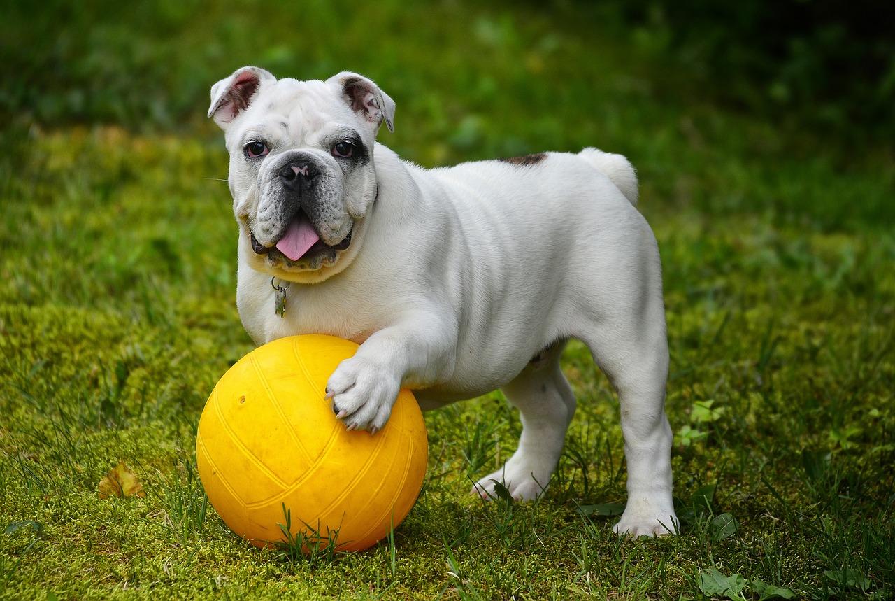most expensive dog english bulldog