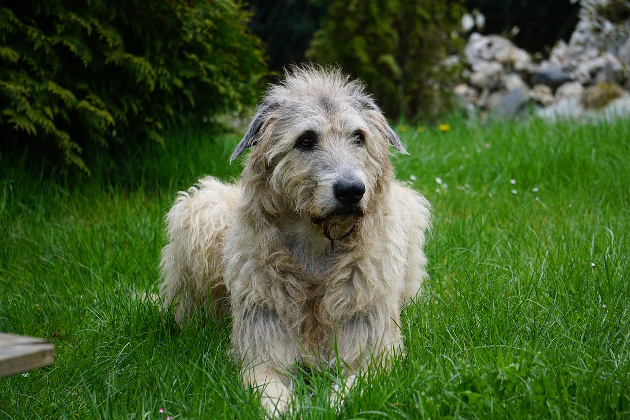 most expensive dog: irish wolfhound