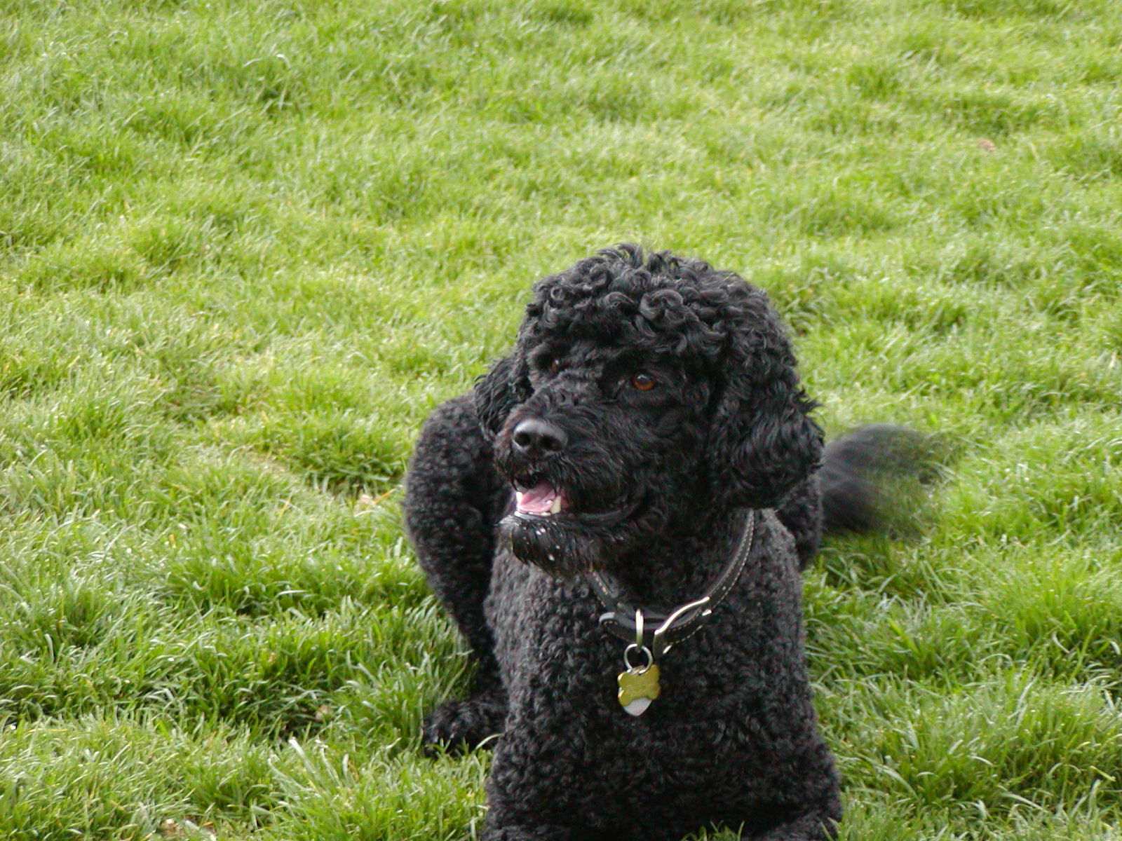most expensive dog portuguese water dog