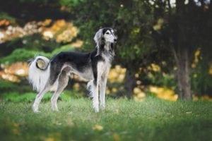 most expensive dog saluki