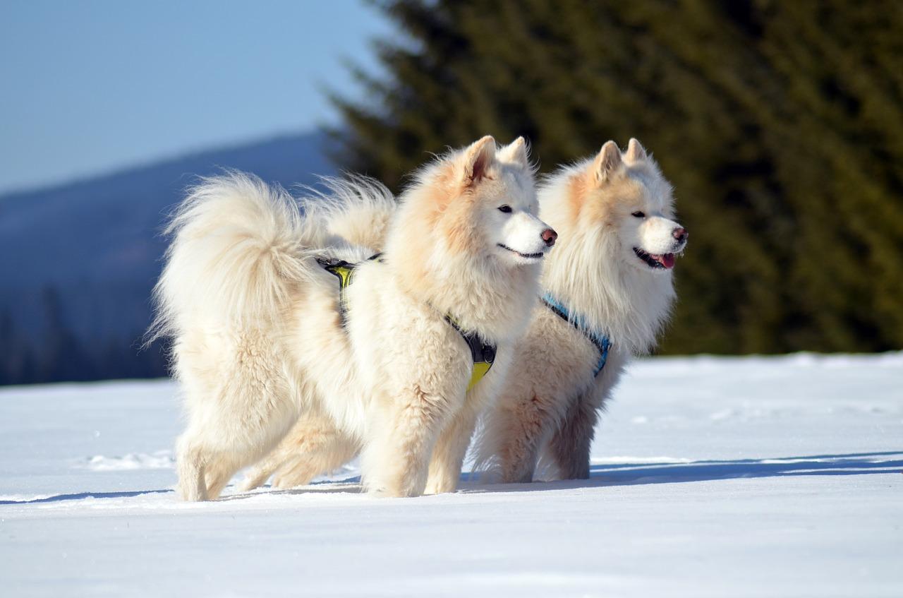 most expensive dog samoyed