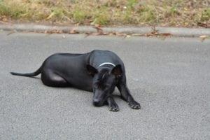 most expensive dog thai ridgeback