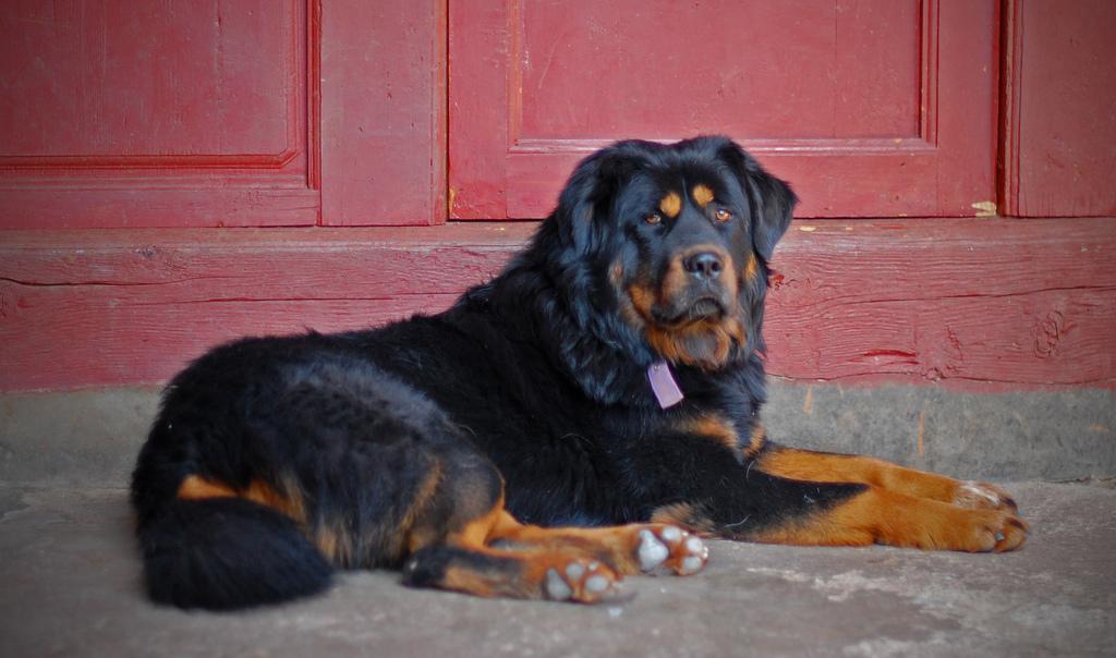 most expensive dog tibetan mastiff