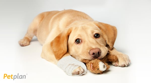 petplan pet insurance | puppy with cast on paw