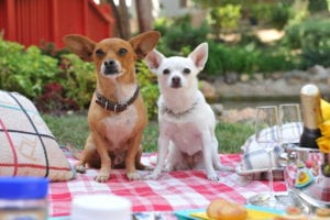 animals in movies- beverly hills chihuahua