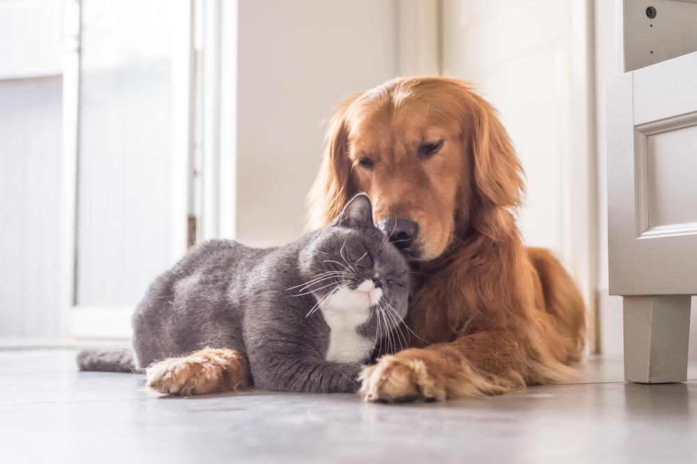 cat and golden retriever