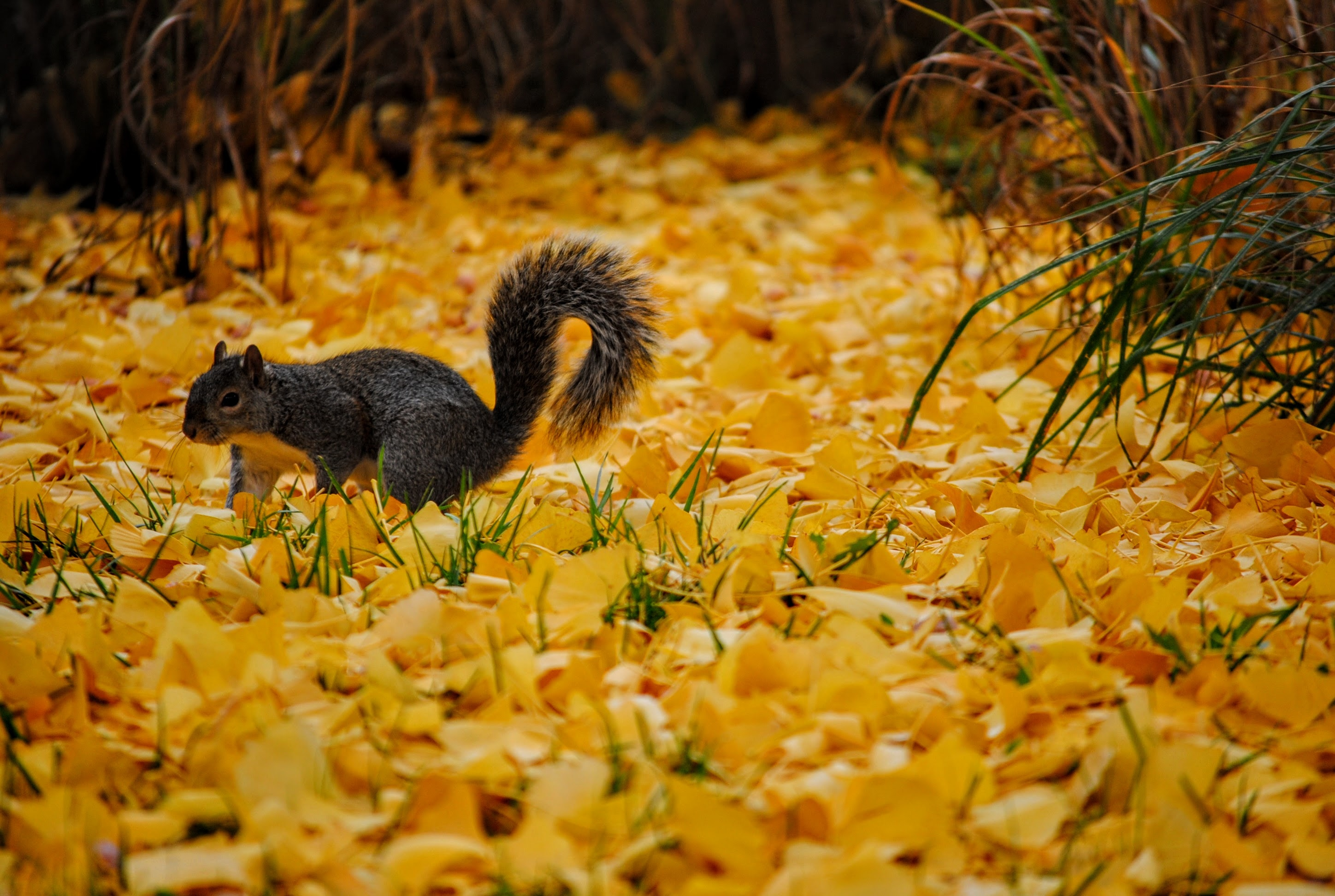 Fall Photos Squirrel in leaves