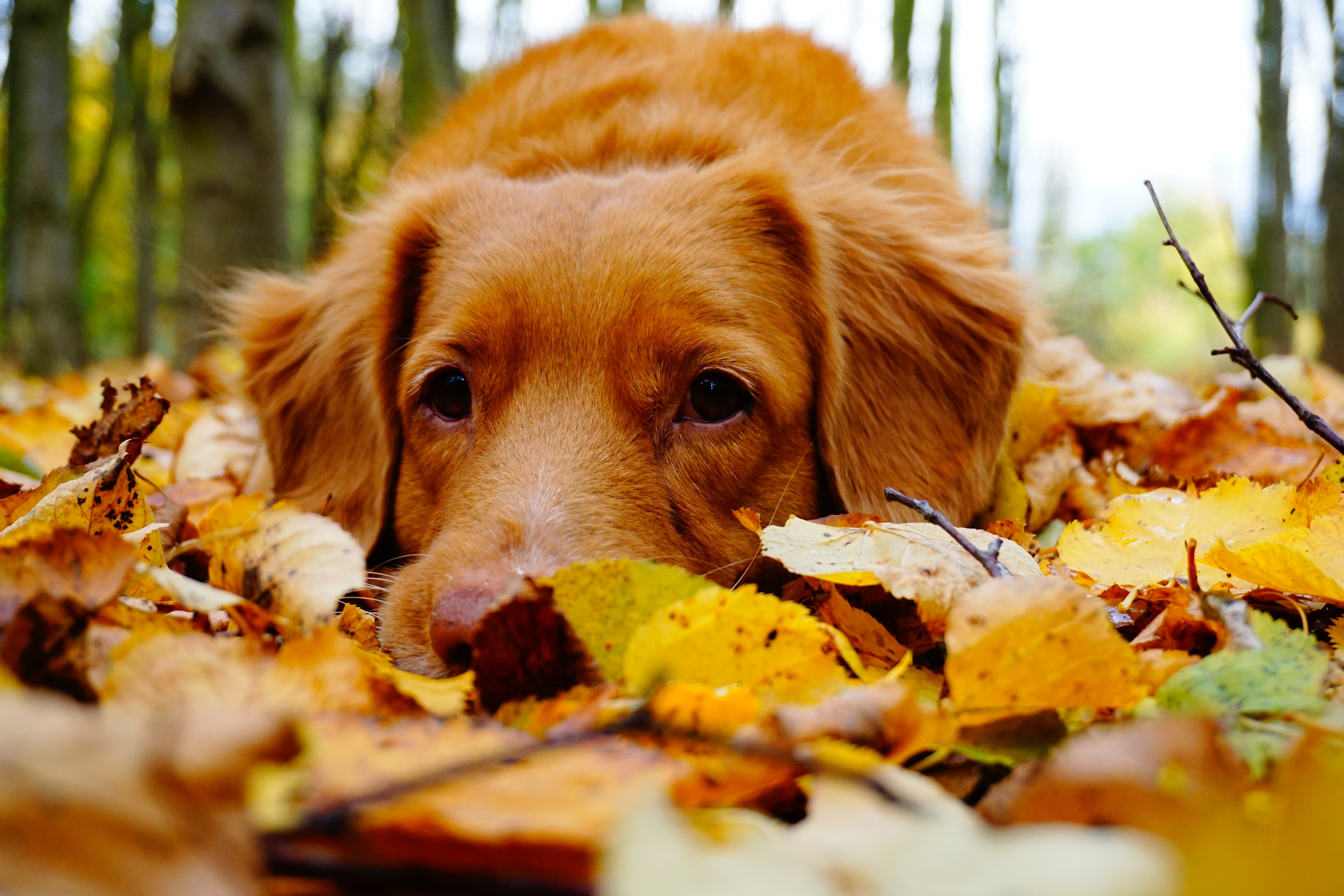 Fall Photos Dog laying in Leaves
