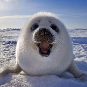 laughing animals - baby seal
