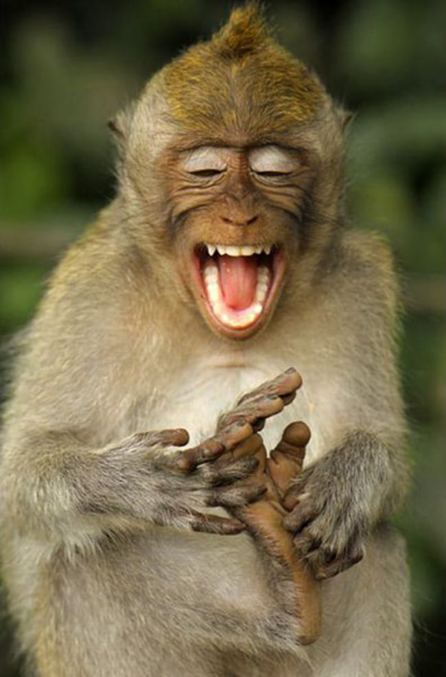 laughing animals - cheeky monkey