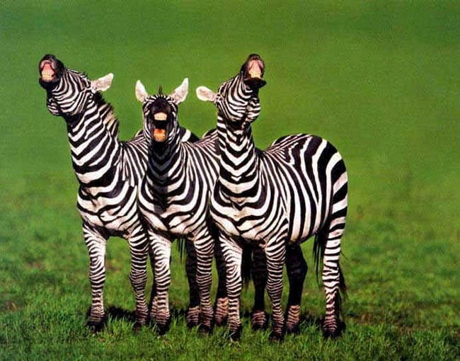 laughing animals - family of zebras