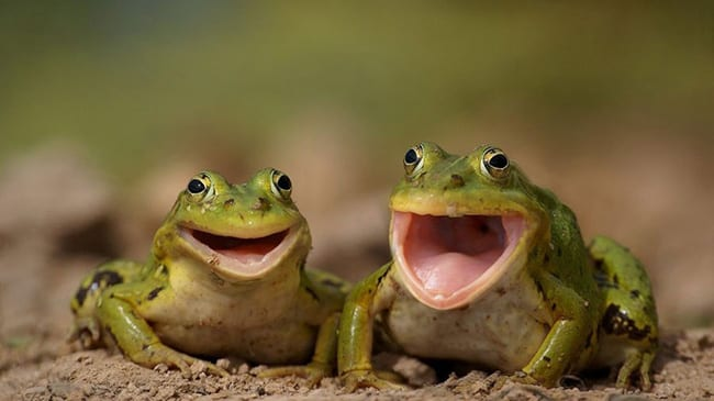 laughing animals - two frogs