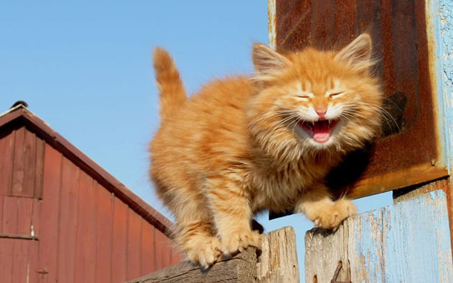 laughing animals - ginger cat walking across a fence