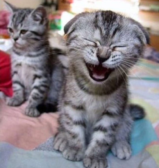 laughing animals - kitten laughing with grumpy kitten in the background