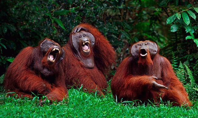 laughing animals - monkeys howling in a group of 3