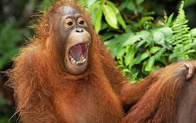 Laughing Animals - Orangutan laughing in trees