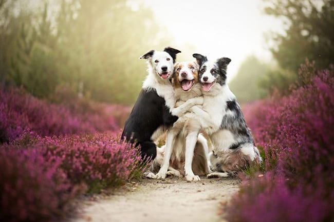 laughing animals - pack of 3 dogs in a group hug