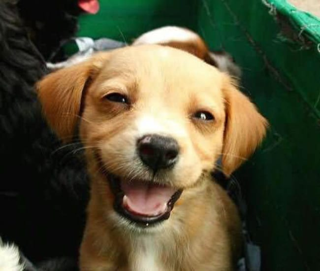 laughing animals - puppy with big smile