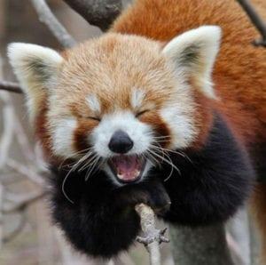 laughing animals - red panda