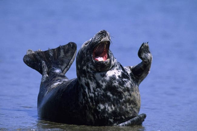 laughing animals - seal with flipper in the air