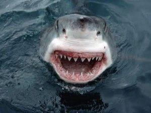 laughing animals - shark