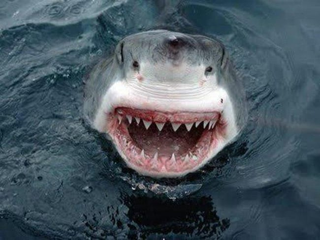 laughing animals - shark showing teeth