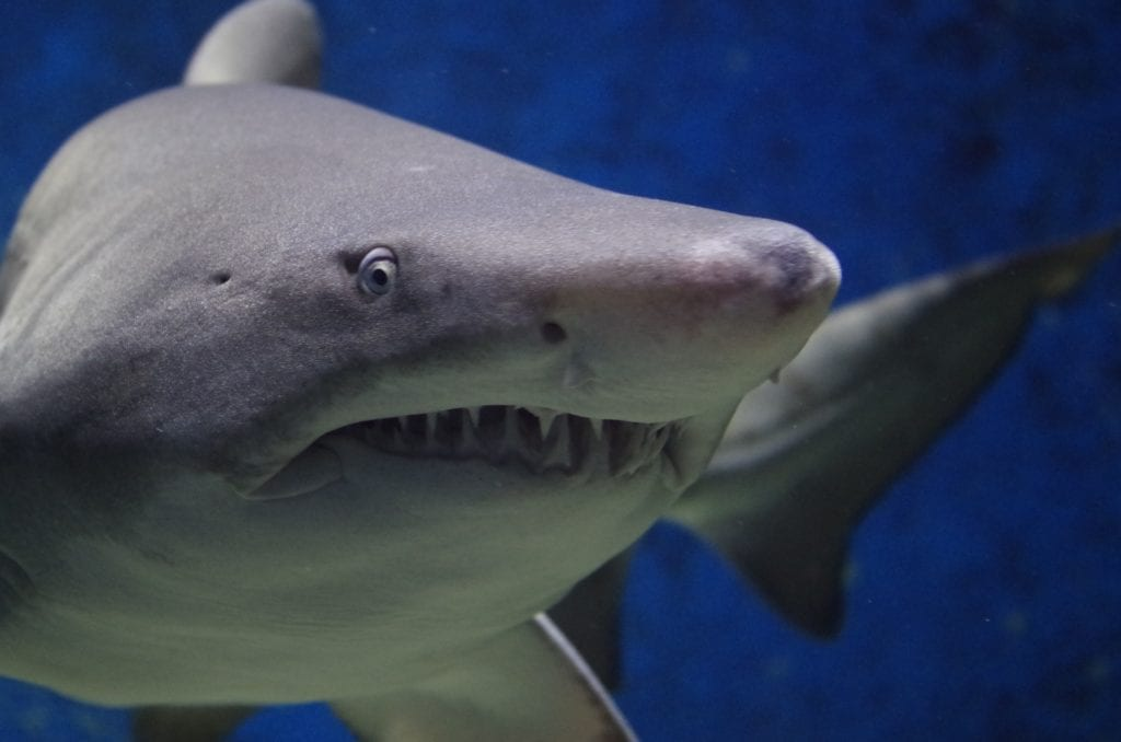 The Top 22 Strangest Things Found in Shark Stomachs