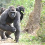 Staff Follow Reclusive Gorilla, See What's In His Hands And Realize Big Mistake